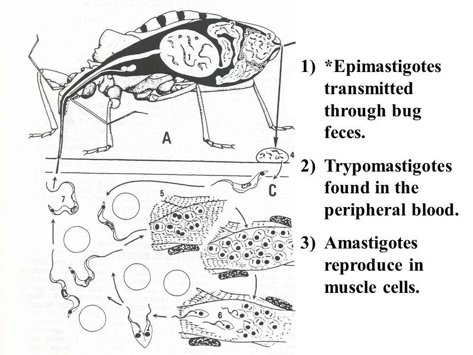 1)*Epimastigotes transmitted through bug feces. 2)Trypomastigotes found in the peripheral blood. 3)Amastigotes reproduce in muscle cells.