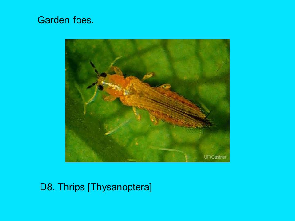 D8. Thrips [Thysanoptera]
