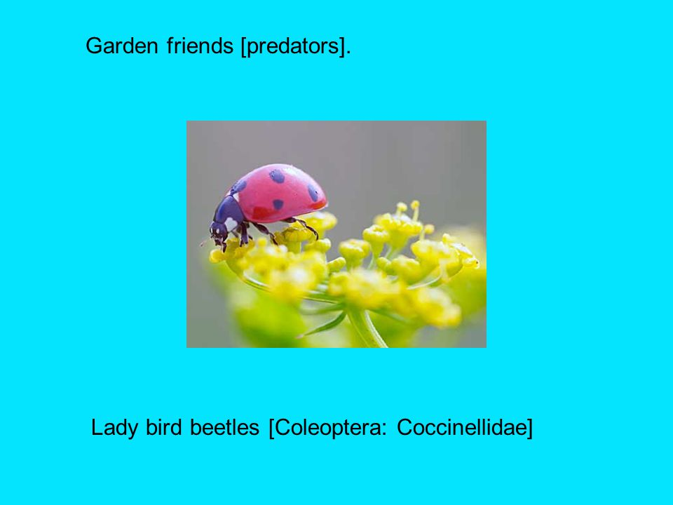 Lady bird beetles [Coleoptera: Coccinellidae]
