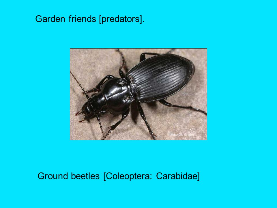 Ground beetles [Coleoptera: Carabidae]