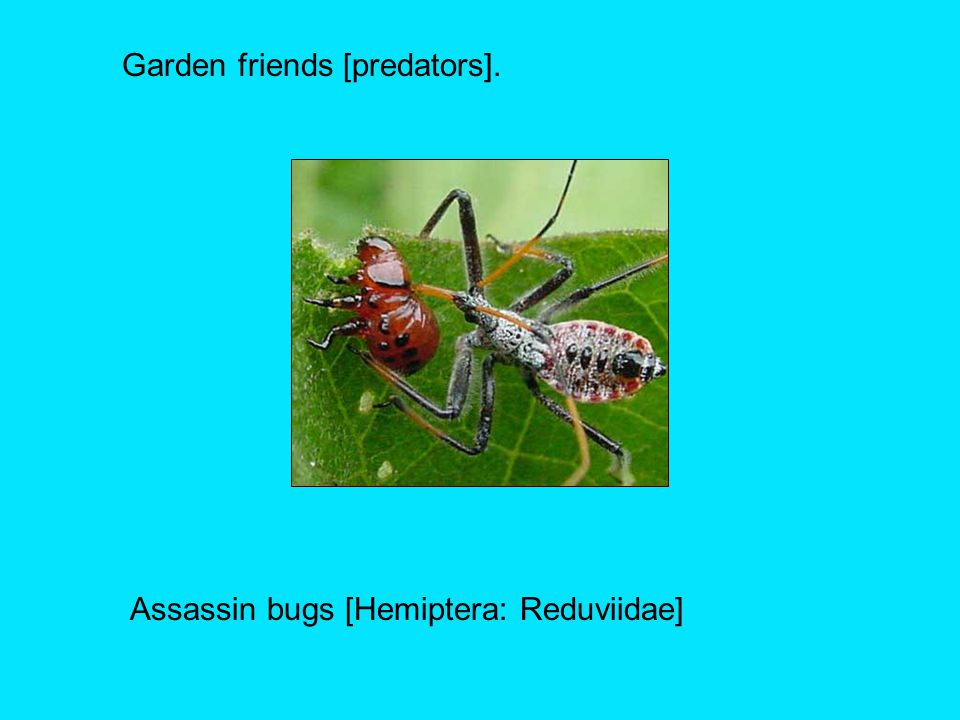Garden friends [predators]. Assassin bugs [Hemiptera: Reduviidae]