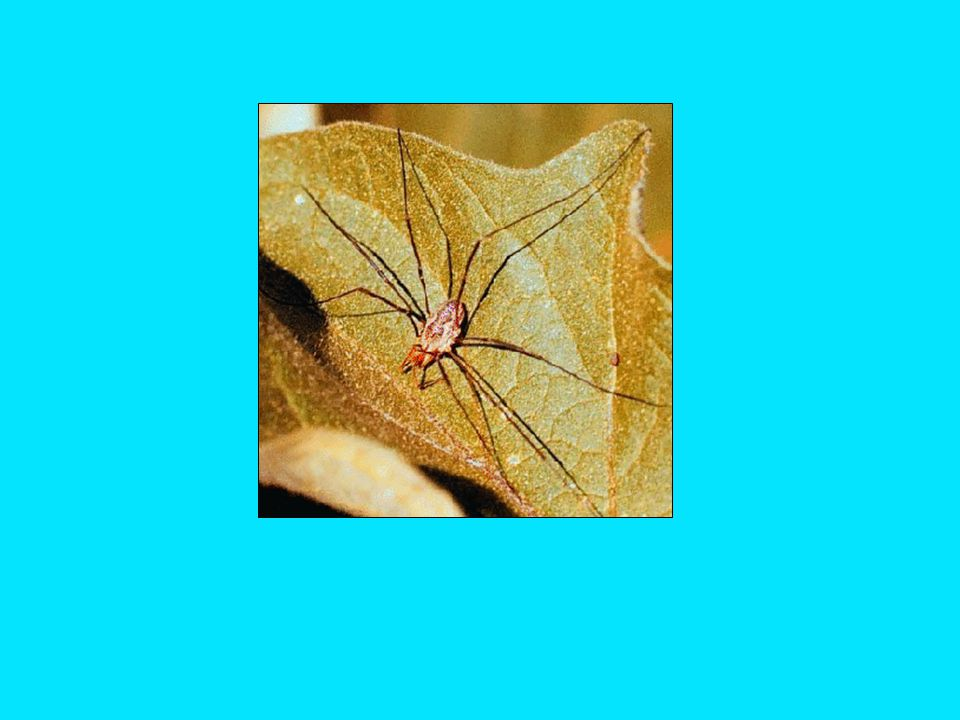 Class: Arachnida (arachnids) Order: Opiliones (harvestmen) - single body segment - predators; scavengers of animals and plants - repellent secreted as defense