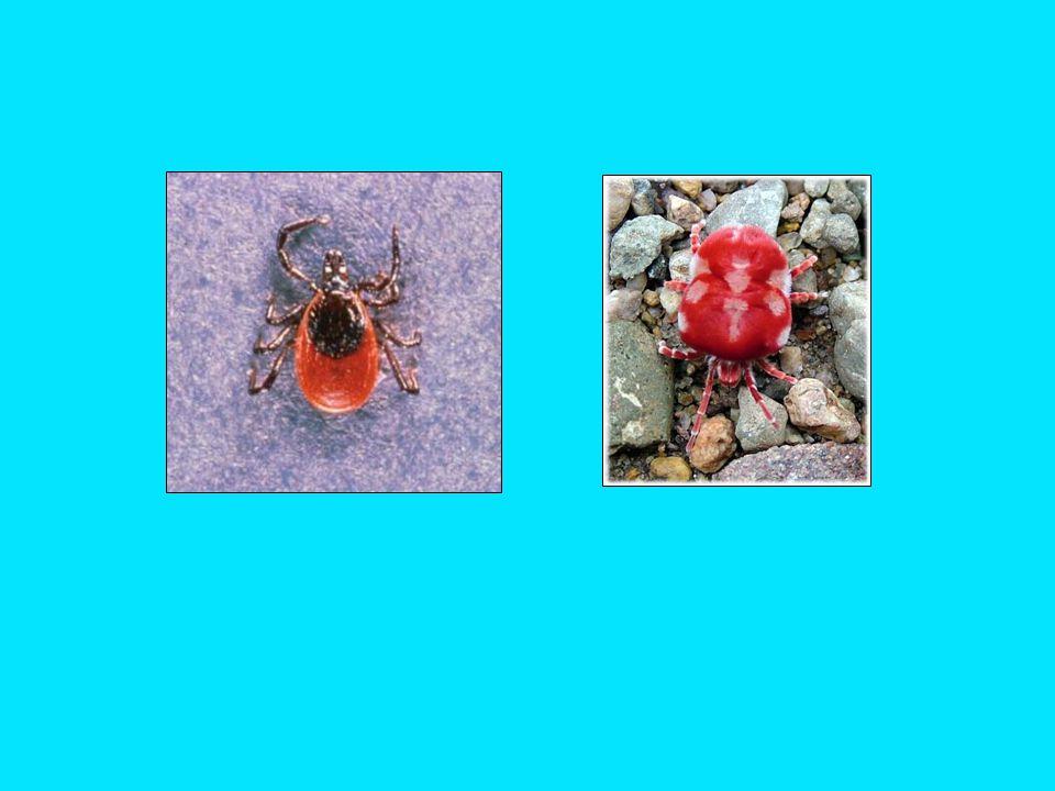 Class: Arachnida (arachnids) Order: Acari (mites, ticks, chiggers) - variety of life histories - predators, herbivores, parasites, suspension feeders - terrestrial and aquatic (fresh and salt water) - may be vectors of disease