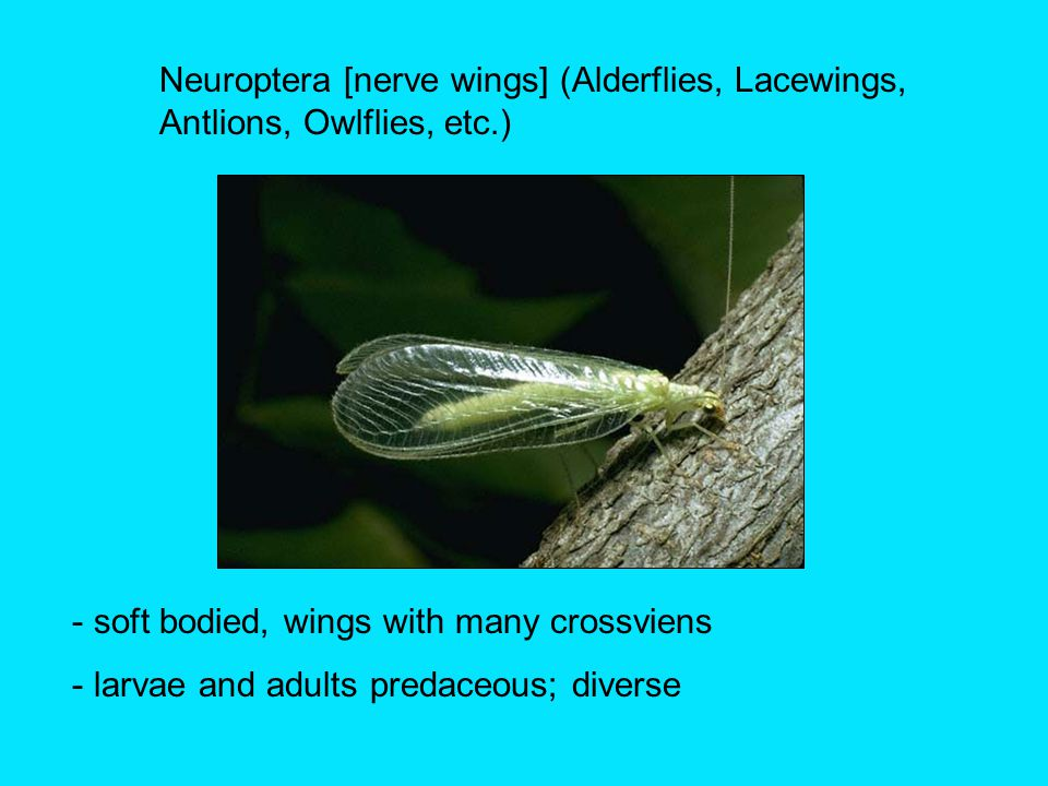 Neuroptera [nerve wings] (Alderflies, Lacewings, Antlions, Owlflies, etc.) - soft bodied, wings with many crossviens - larvae and adults predaceous; diverse
