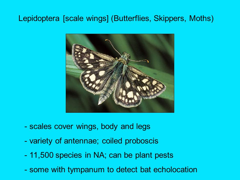 Lepidoptera [scale wings] (Butterflies, Skippers, Moths) - scales cover wings, body and legs - variety of antennae; coiled proboscis - 11,500 species