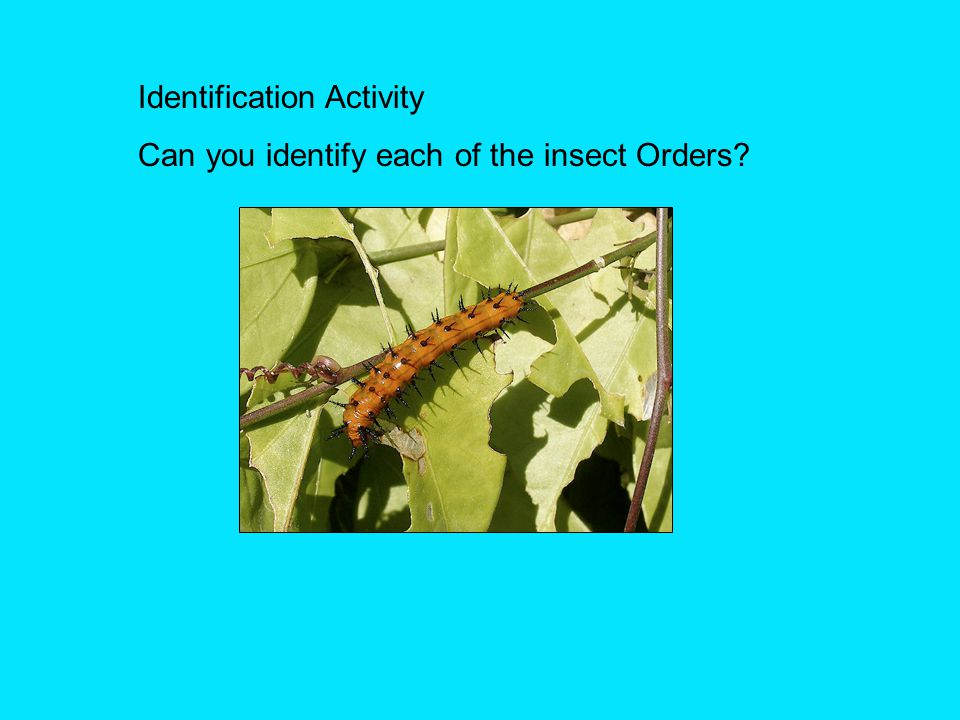 Identification Activity Can you identify each of the insect Orders?