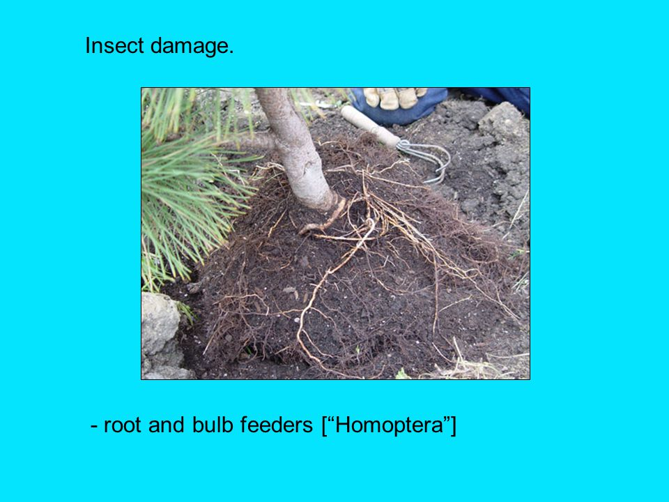 Insect damage. - root and bulb feeders [ Homoptera ]