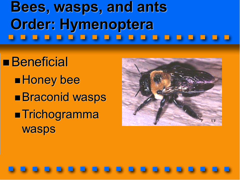 Bees, wasps, and ants Order: Hymenoptera Beneficial Beneficial Honey bee Honey bee Braconid wasps Braconid wasps Trichogramma wasps Trichogramma wasps