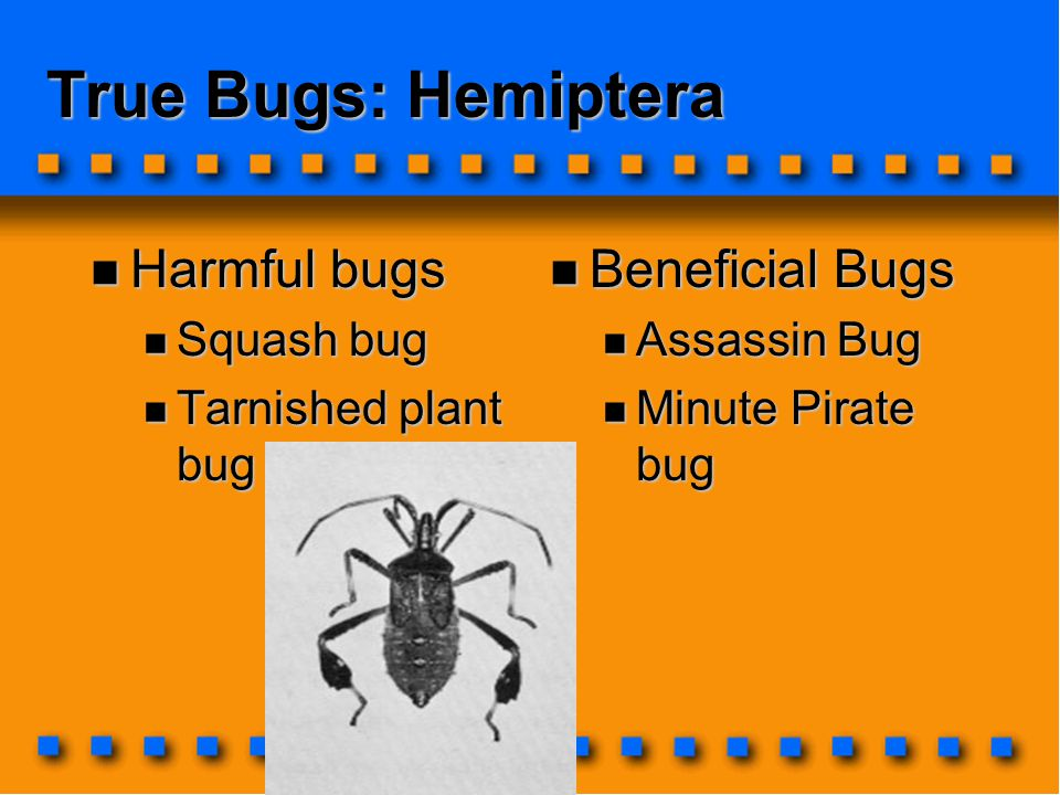 True Bugs: Hemiptera Harmful bugs Harmful bugs Squash bug Squash bug Tarnished plant bug Tarnished plant bug Beneficial Bugs Beneficial Bugs Assassin Bug Assassin Bug Minute Pirate bug Minute Pirate bug