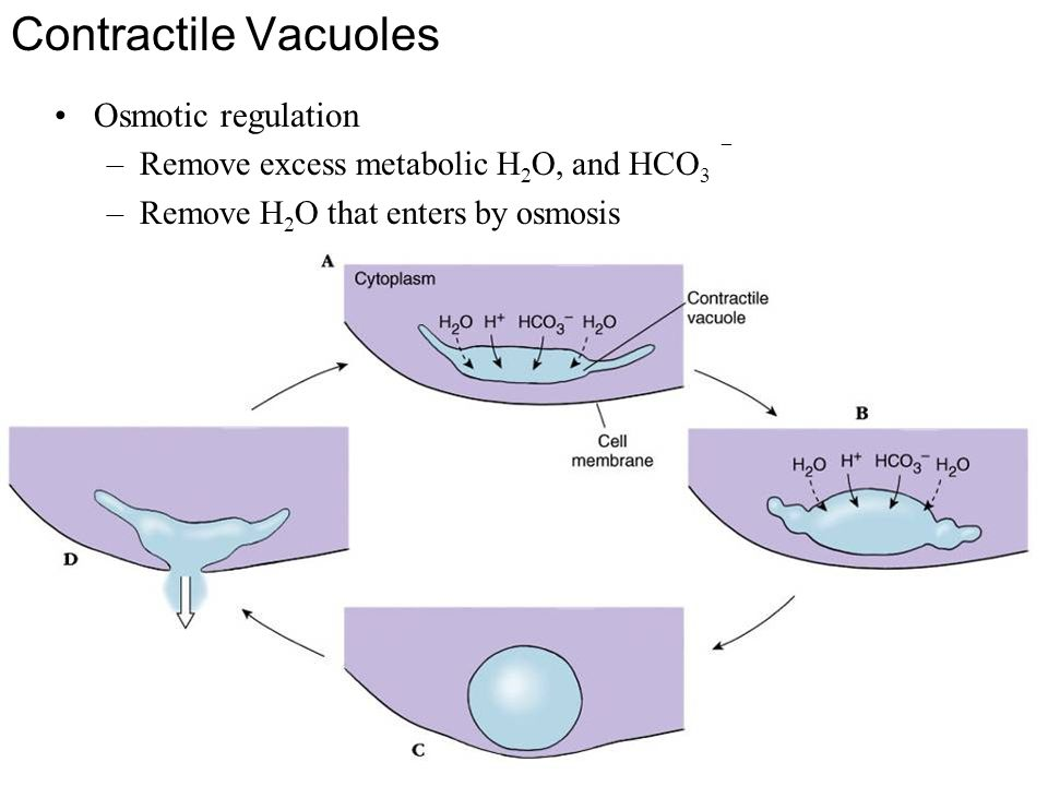 Contractile Vacuoles Osmotic regulation –Remove excess metabolic H 2 O, and HCO 3  –Remove H 2 O that enters by osmosis