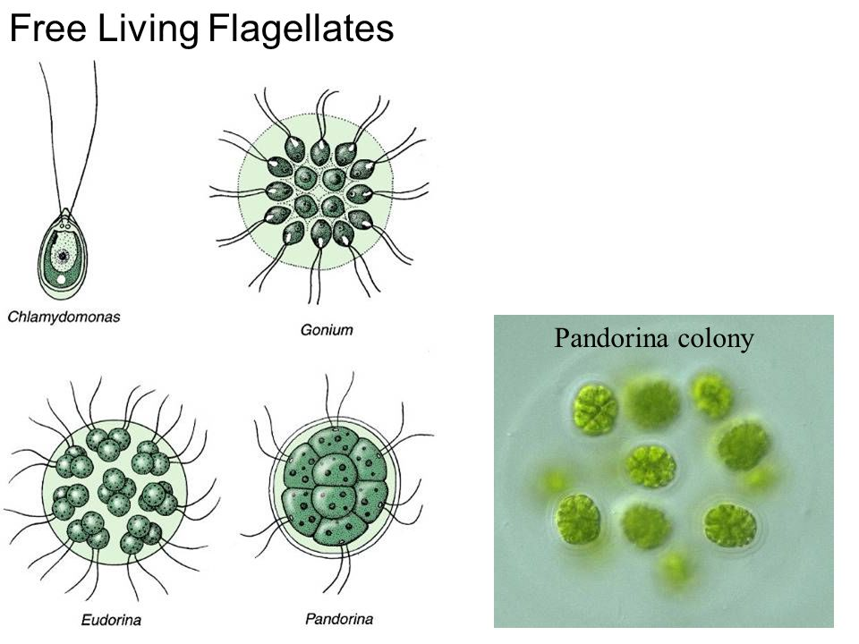 Free Living Flagellates Pandorina colony