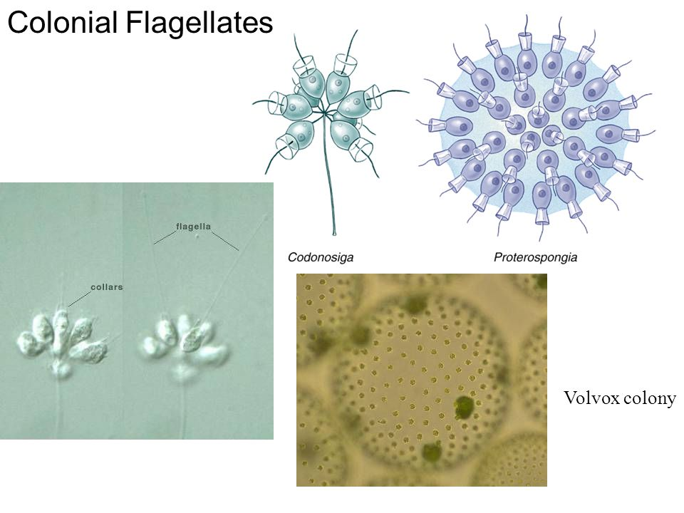 Colonial Flagellates Volvox colony