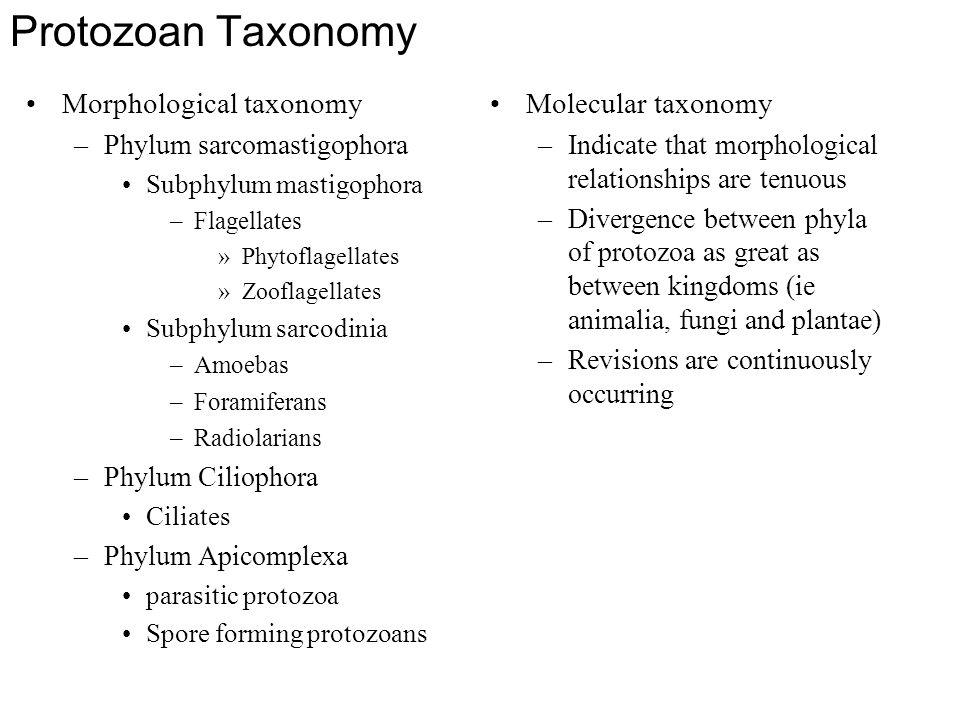 Protozoan Taxonomy Morphological taxonomy –Phylum sarcomastigophora Subphylum mastigophora –Flagellates »Phytoflagellates »Zooflagellates Subphylum sa