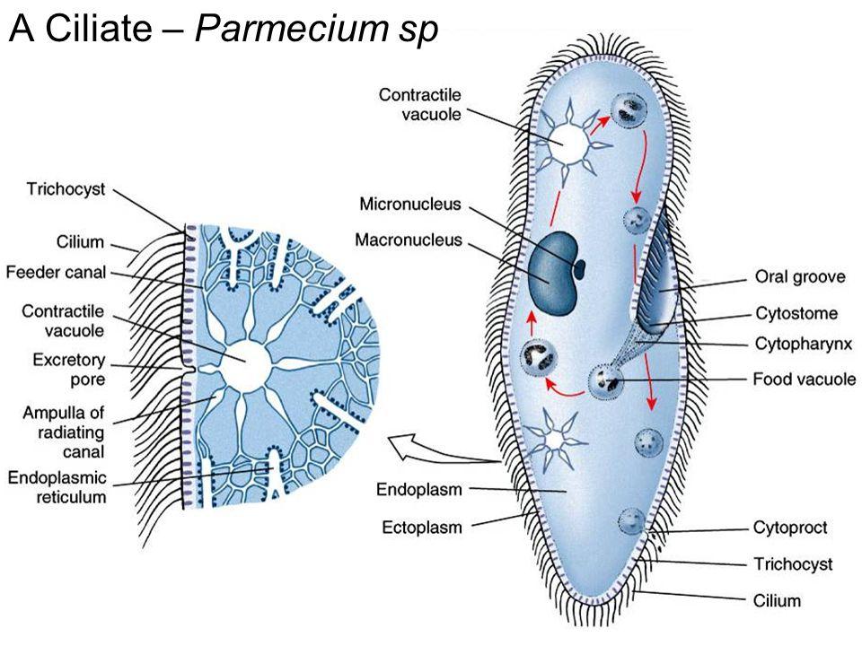 A Ciliate – Parmecium sp