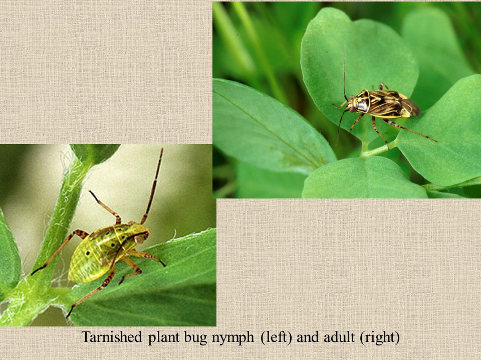 Problems in Biological Control (2) Many parasitoids of nymphs spend the winter as pupae in the soil.