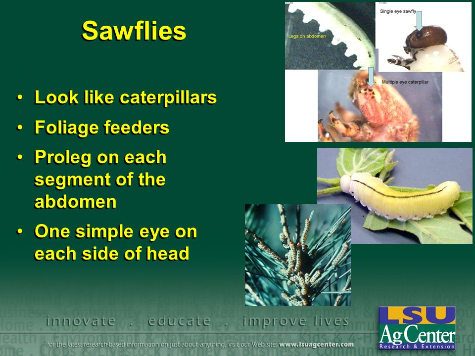 Sawflies Look like caterpillars Foliage feeders Proleg on each segment of the abdomen One simple eye on each side of head Look like caterpillars Foliage feeders Proleg on each segment of the abdomen One simple eye on each side of head