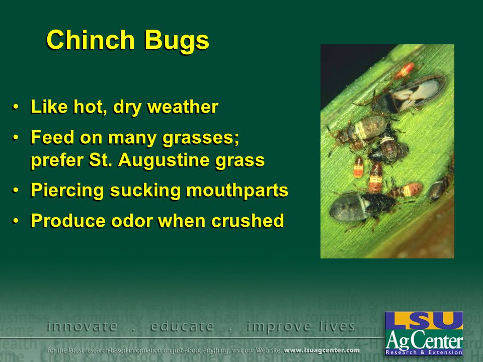 Chinch Bugs Like hot, dry weather Feed on many grasses; prefer St.