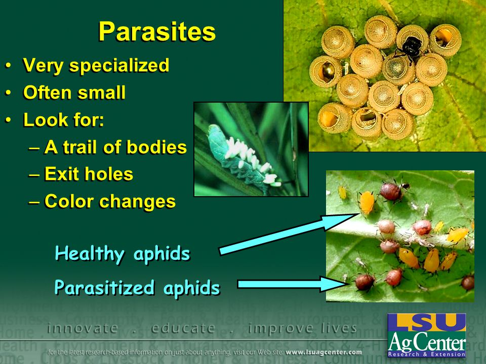 Parasites Very specialized Often small Look for: –A trail of bodies –Exit holes –Color changes Very specialized Often small Look for: –A trail of bodies –Exit holes –Color changes Healthy aphids Parasitized aphids Healthy aphids Parasitized aphids