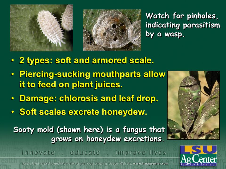 Pathogens Naturally occurring insect diseases –Bacteria, fungi, viruses and protozoa Often specific to host Lag time - may take a few days to provide control Naturally occurring insect diseases –Bacteria, fungi, viruses and protozoa Often specific to host Lag time - may take a few days to provide control Bacillus thuringiensis is a bacterium that kills caterpillars when ingested.