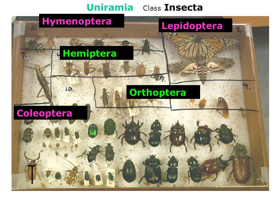 Subphylum Uniramia Class Insecta