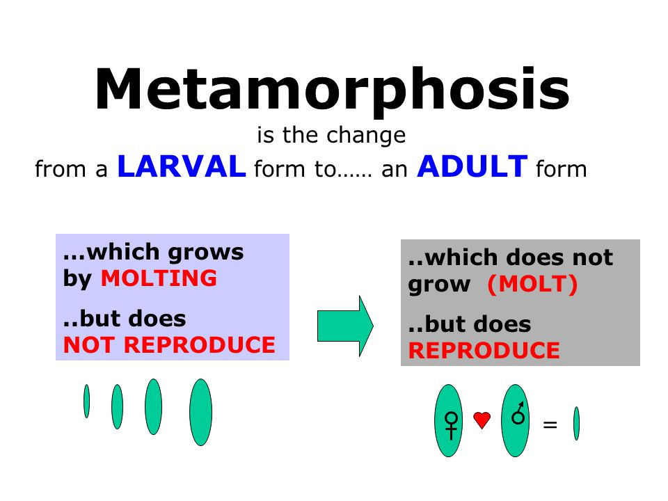 Metamorphosis is the change from a LARVAL form to…… an ADULT form …which grows by MOLTING..but does NOT REPRODUCE..which does not grow (MOLT)..but does REPRODUCE =