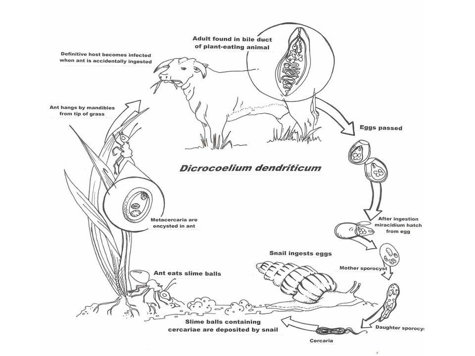 Ectoparasites, endoparasites Social parasites Parasite–Predator spectrum Microparasites Macroparasites Parasitoids Predators Mode of transmission & virulence