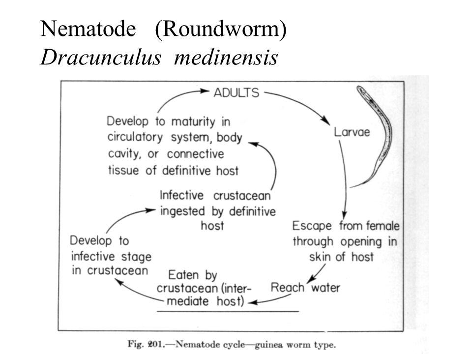 Nematode (Roundworm) Dracunculus medinensis