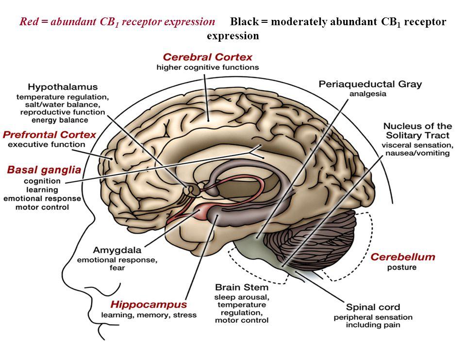 Red = abundant CB 1 receptor expression Black = moderately abundant CB 1 receptor expression