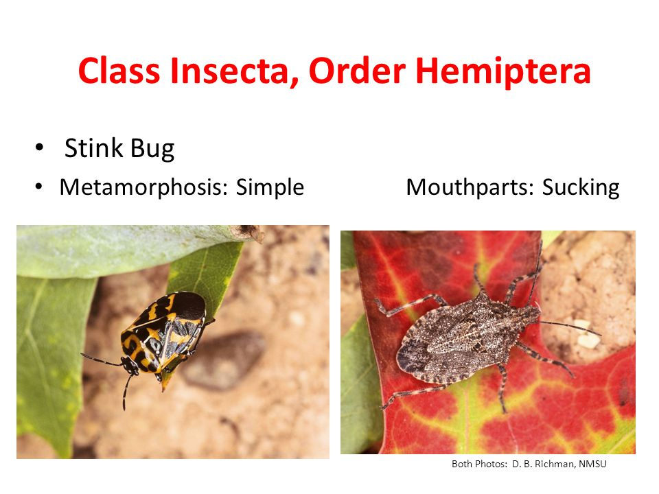 Class Insecta, Order Hemiptera Stink Bug Metamorphosis: Simple Mouthparts: Sucking Both Photos: D.