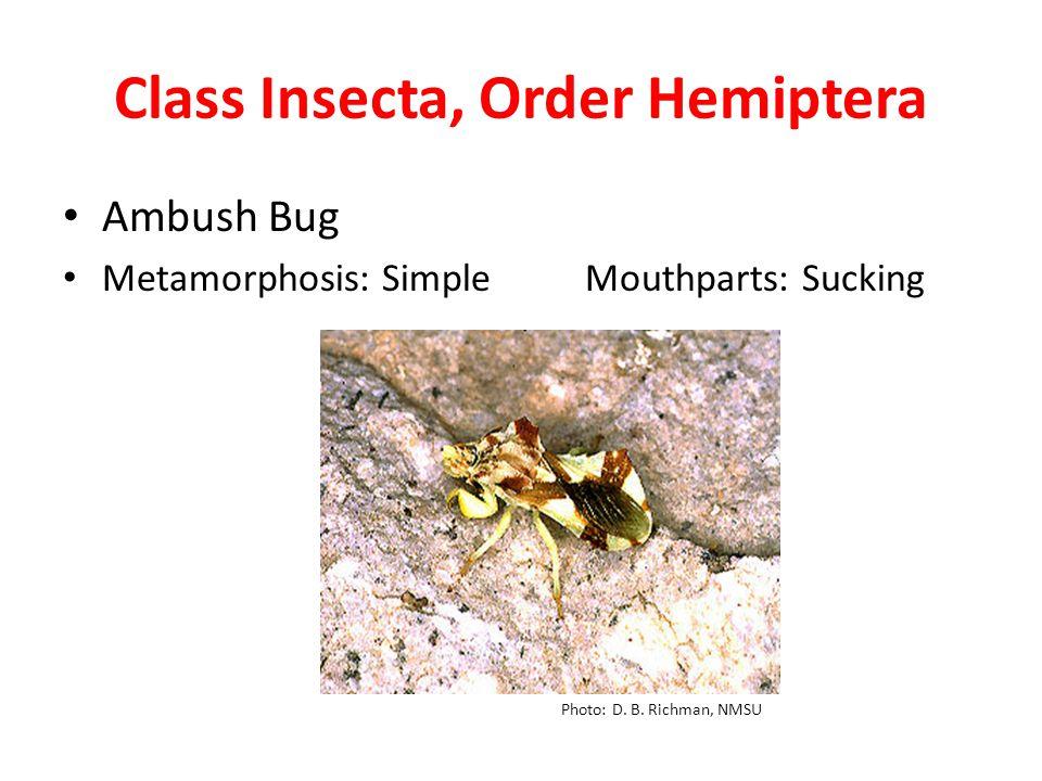 Class Insecta, Order Hemiptera Ambush Bug Metamorphosis: Simple Mouthparts: Sucking Photo: D.