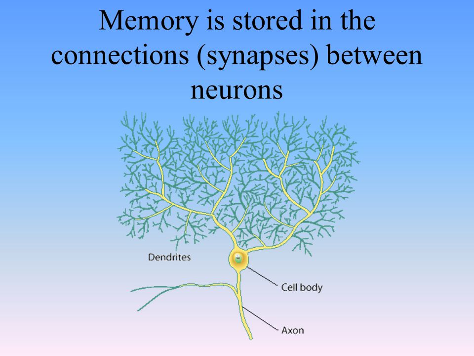 Memory is stored in the connections (synapses) between neurons