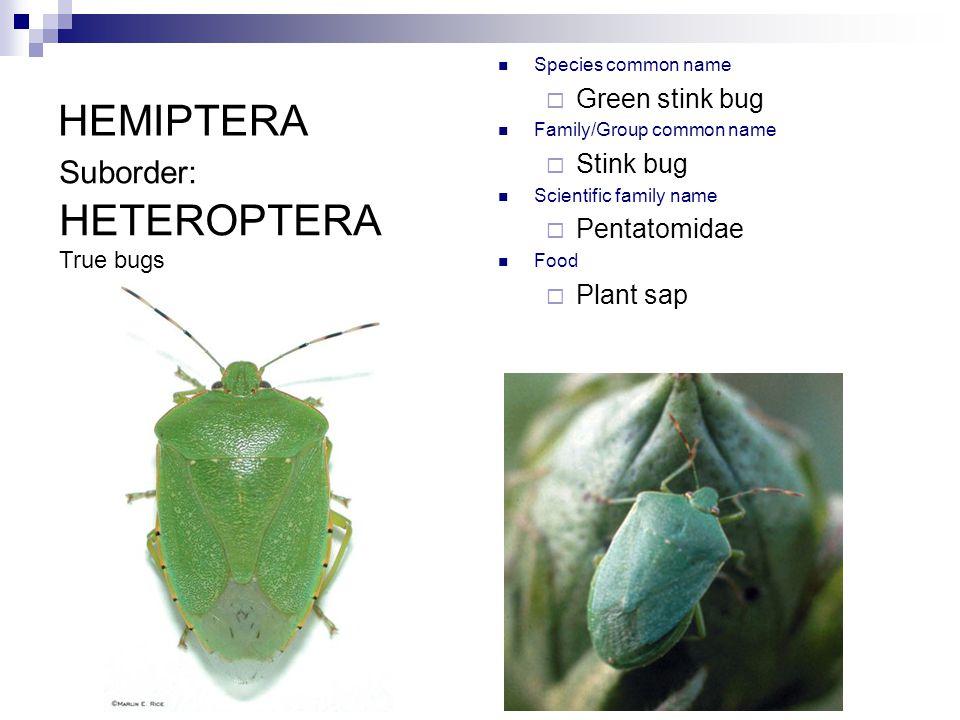 HEMIPTERA Species common name  Green stink bug Family/Group common name  Stink bug Scientific family name  Pentatomidae Food  Plant sap Suborder: HETEROPTERA True bugs