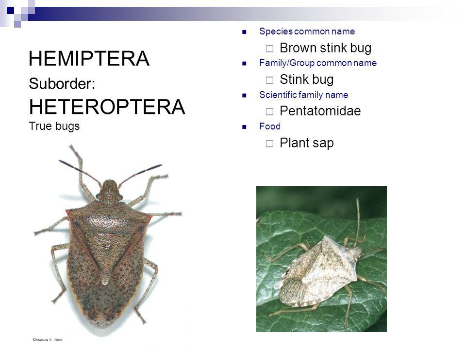 HEMIPTERA Species common name  Brown stink bug Family/Group common name  Stink bug Scientific family name  Pentatomidae Food  Plant sap Suborder: HETEROPTERA True bugs