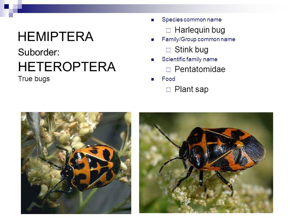 HEMIPTERA Species common name  Harlequin bug Family/Group common name  Stink bug Scientific family name  Pentatomidae Food  Plant sap Suborder: HETEROPTERA True bugs