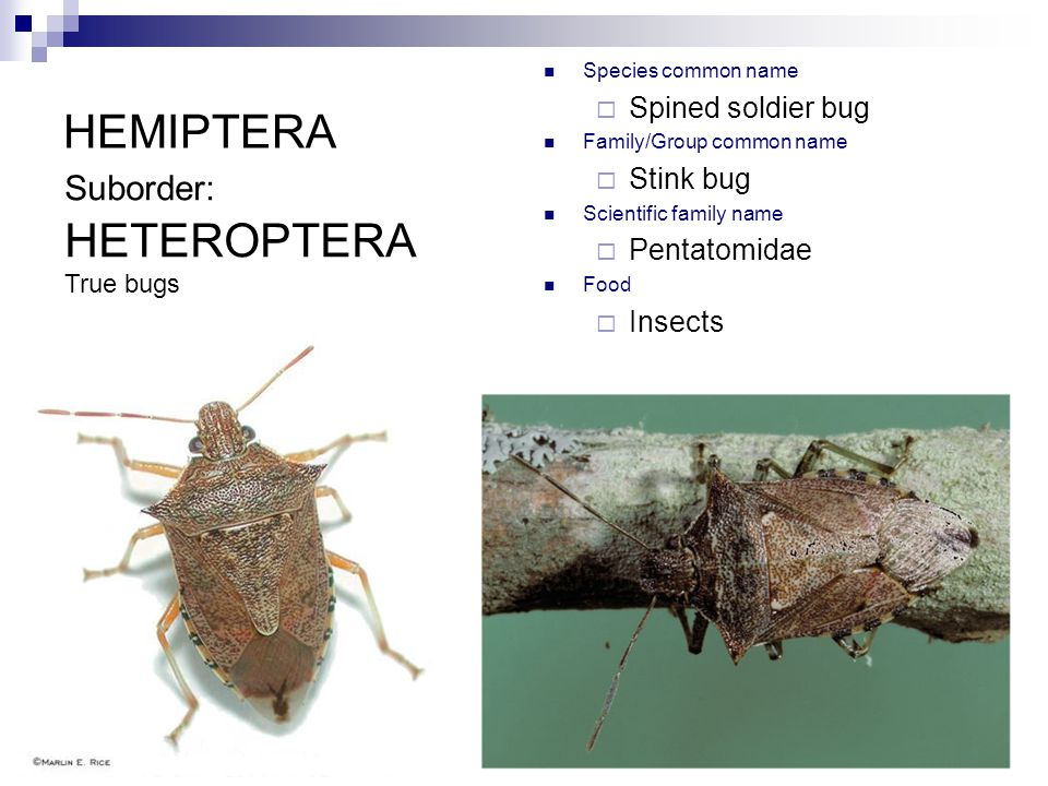 HEMIPTERA Species common name  Spined soldier bug Family/Group common name  Stink bug Scientific family name  Pentatomidae Food  Insects Suborder: