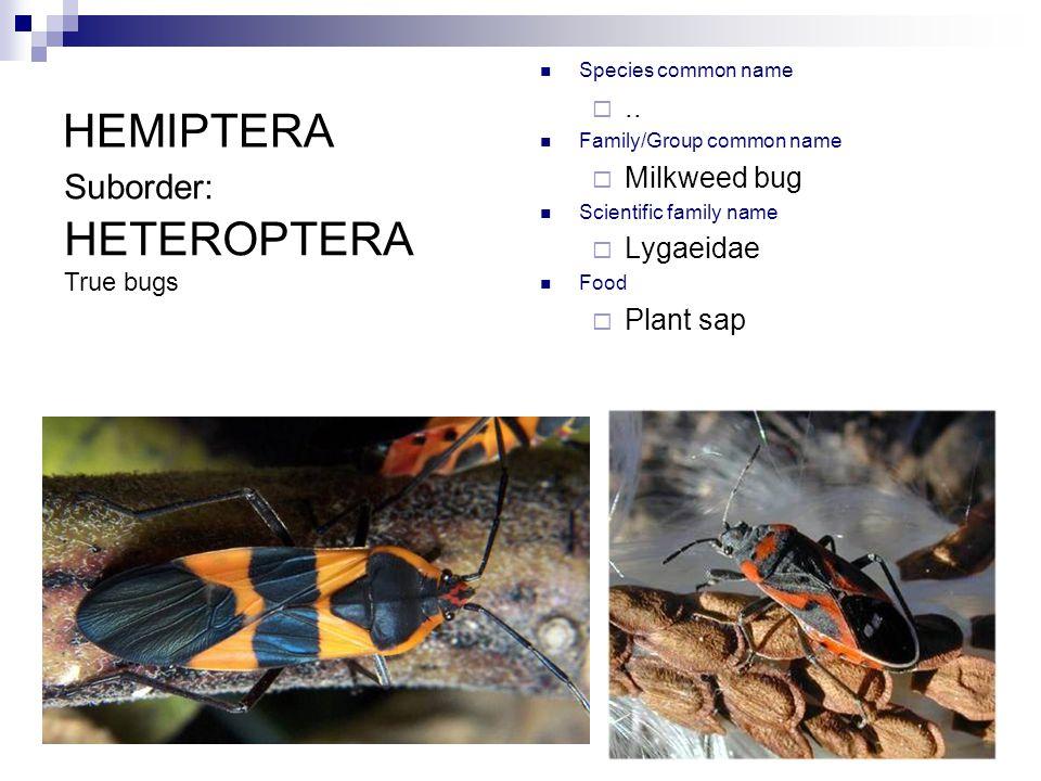 HEMIPTERA Species common name ..