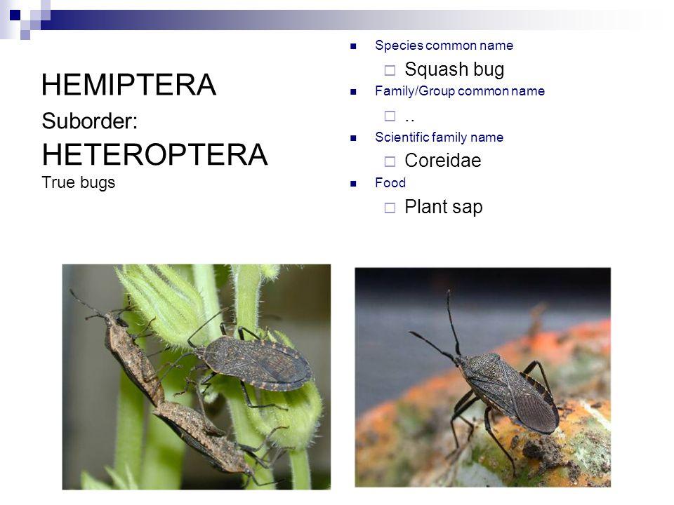 HEMIPTERA Species common name  Squash bug Family/Group common name ..