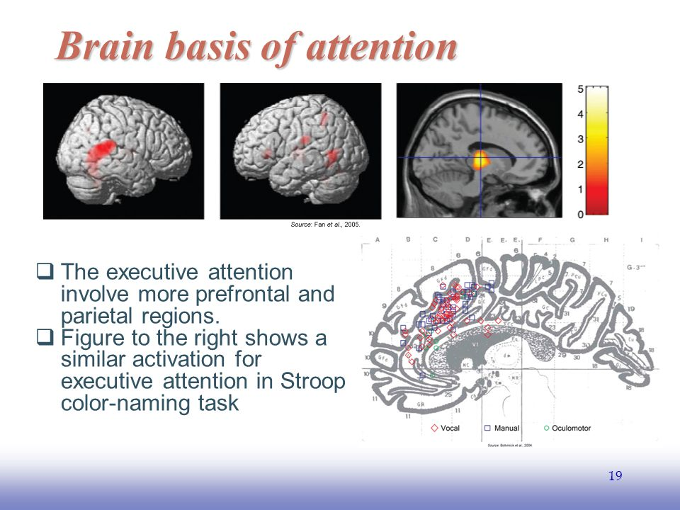 EE141 19 Brain basis of attention  The executive attention involve more prefrontal and parietal regions.