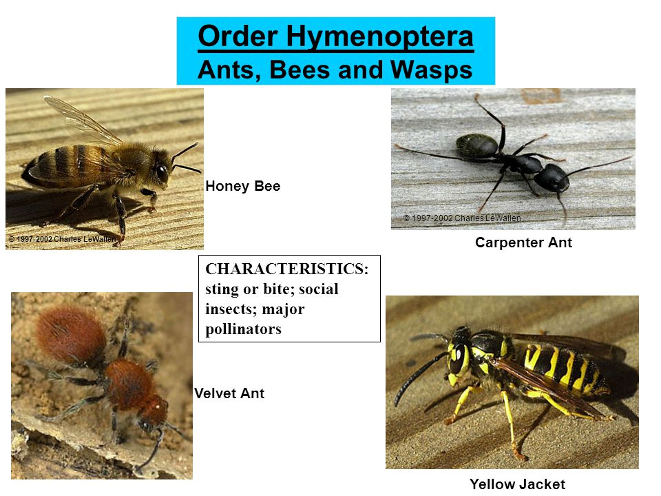 Order Hymenoptera Ants, Bees and Wasps Velvet Ant Yellow Jacket Carpenter Ant © 1997-2002 Charles LeWallen Honey Bee © 1997-2002 Charles LeWallen CHARACTERISTICS: sting or bite; social insects; major pollinators
