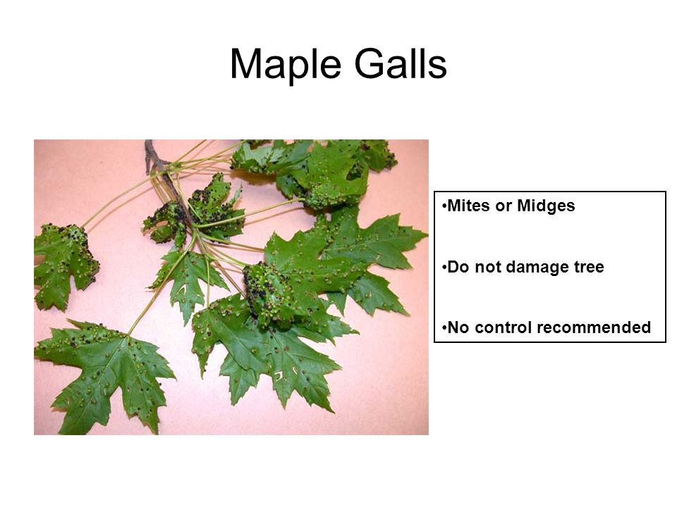 Maple Galls Mites or Midges Do not damage tree No control recommended