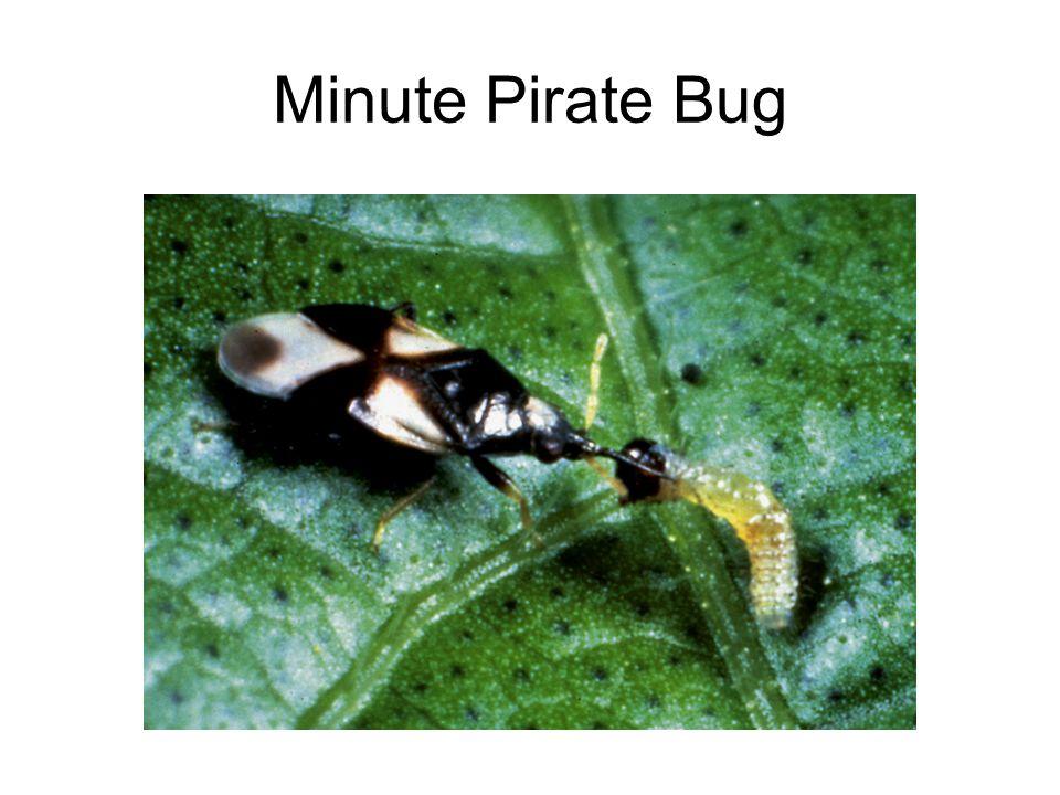 Minute Pirate Bug