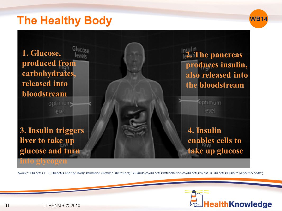 The Healthy Body 3. Insulin triggers liver to take up glucose and turn into glycogen 1.
