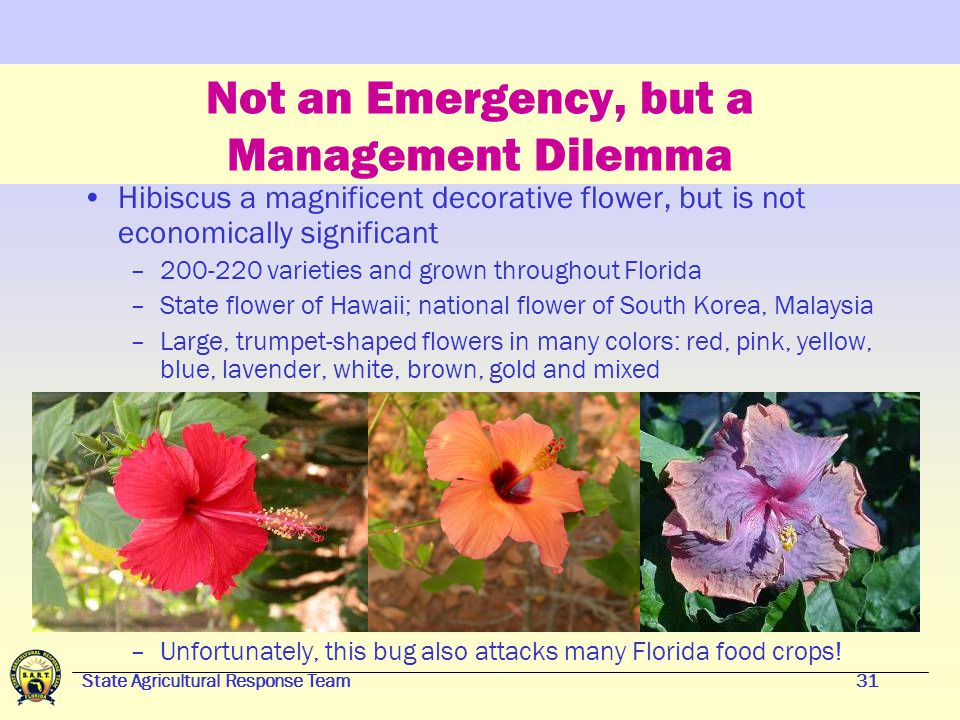 State Agricultural Response Team30 Management Example Pink Hibiscus Mealybug Pink hibiscus mealybug (PHM) has been a major pest in the Caribbean basin PHM appeared in Florida in June 2002 No eradication attempt was made Biological controls of PHM are determined to work well