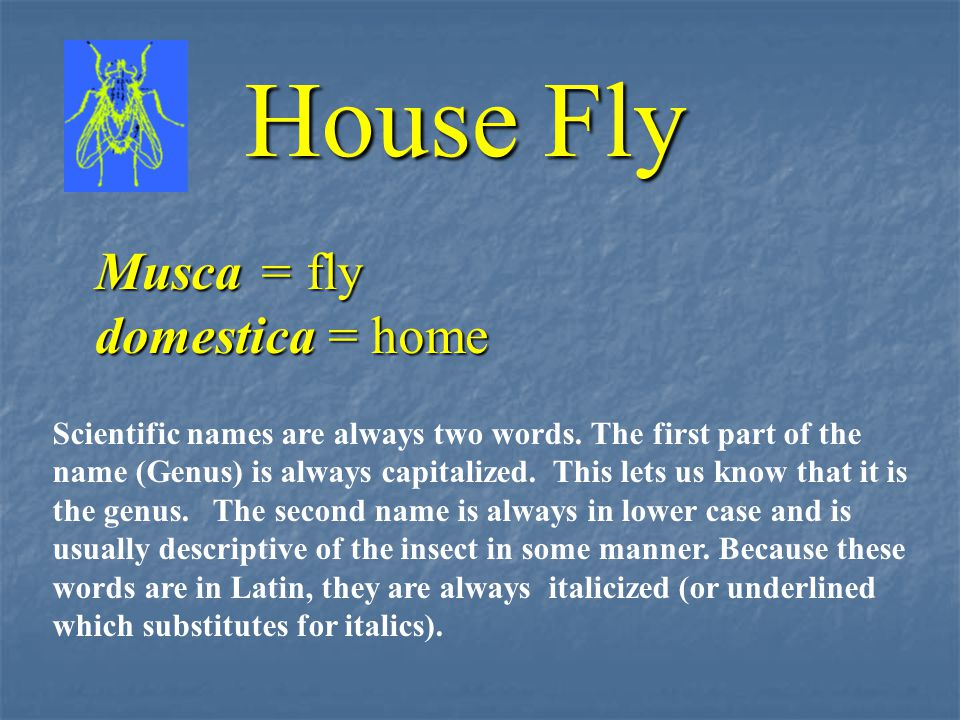House Fly Musca = fly domestica = home Scientific names are always two words.