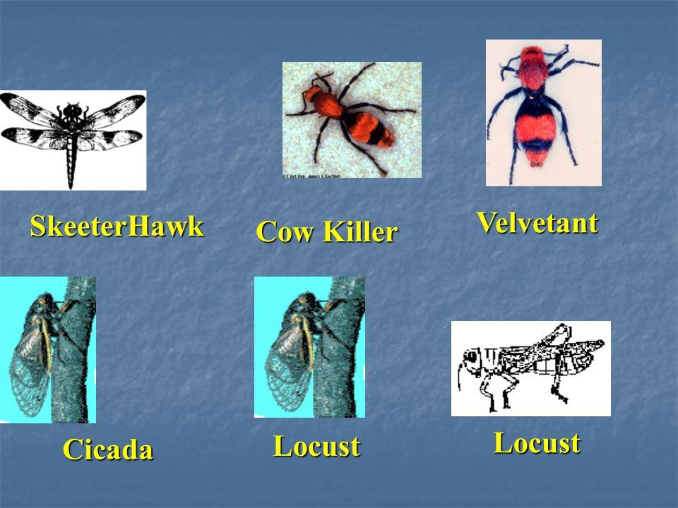 SkeeterHawk Cow Killer Velvetant Cicada Locust Locust
