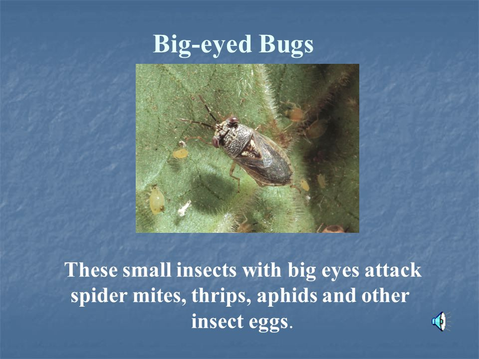 Big-eyed Bugs These small insects with big eyes attack spider mites, thrips, aphids and other insect eggs.