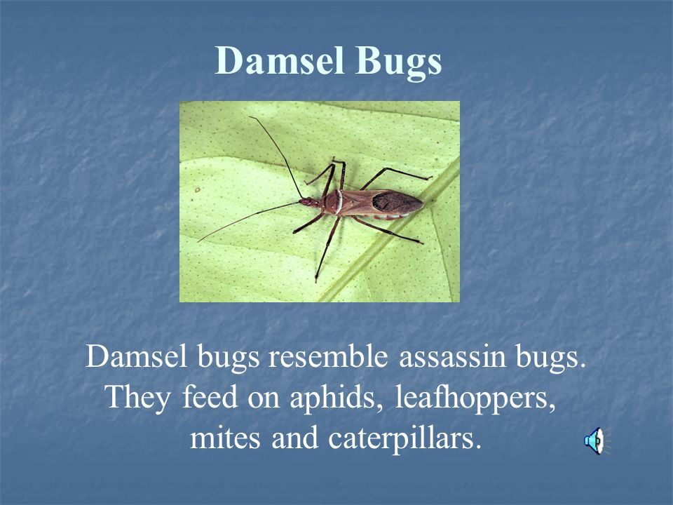Damsel Bugs Damsel bugs resemble assassin bugs. They feed on aphids, leafhoppers, mites and caterpillars.