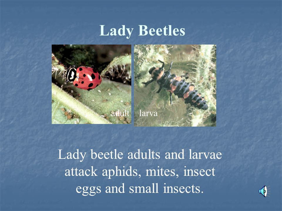 Lady Beetles Lady beetle adults and larvae attack aphids, mites, insect eggs and small insects.