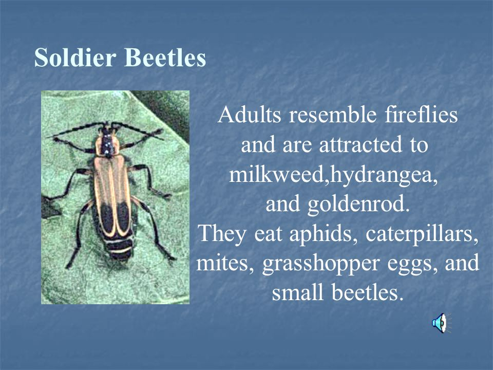 Soldier Beetles Adults resemble fireflies and are attracted to milkweed,hydrangea, and goldenrod.
