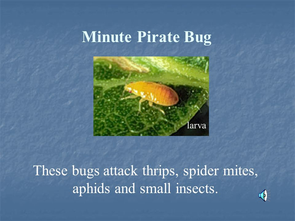 Minute Pirate Bug These bugs attack thrips, spider mites, aphids and small insects. larva